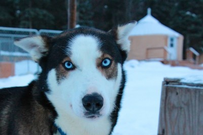 Alaskan Sled Dog Tours